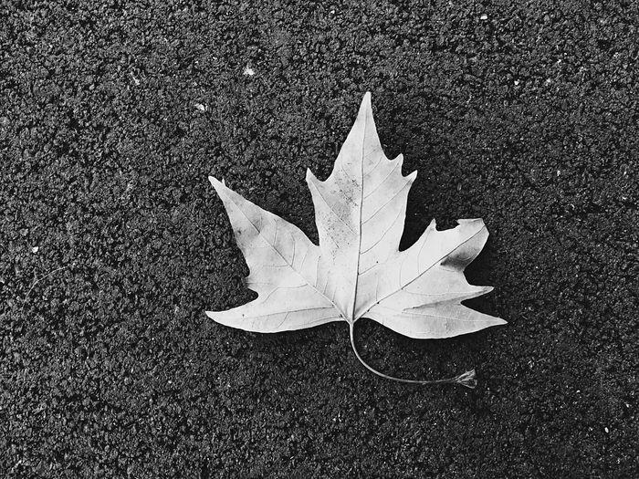 Close-up of maple leaf