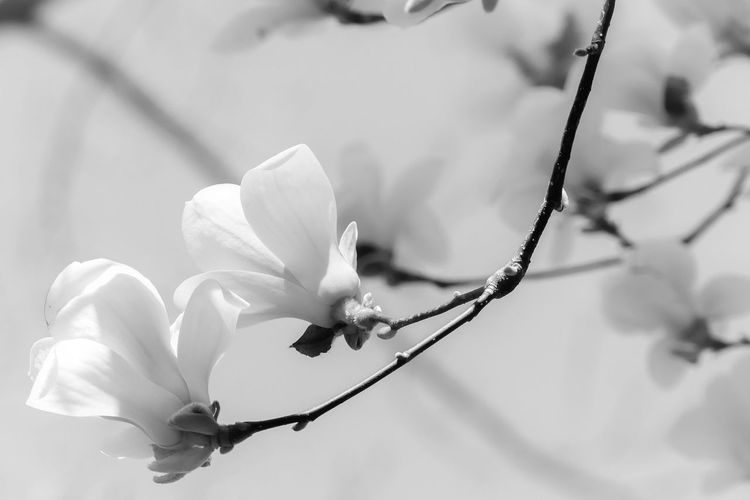 Black & White Beauty In Nature Nature Flowerporn Flowers,Plants & Garden Fragile Outdoors Springtime Spring Freshness Poetry Magnolia Magnolia_Blossom Background Fragility In Nature Twig Blackandwhite Vulnerability  Tranquility Flower Head Flower Petal Branch Close-up Plant In Bloom Blossom Blooming Plant Life My Best Photo
