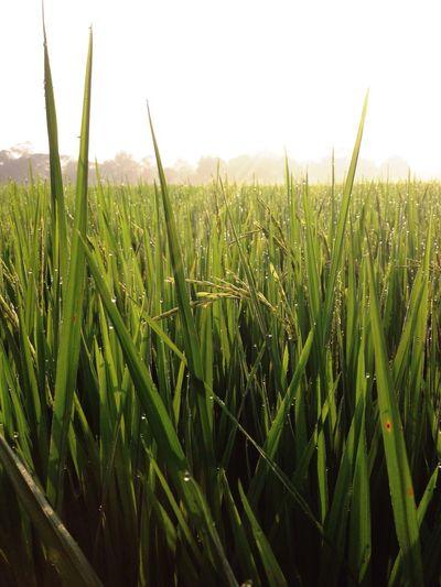 Thailand Thai Rice Thai Field Rice Field Ricefield Sunshine ☀ Morning Light Freshness