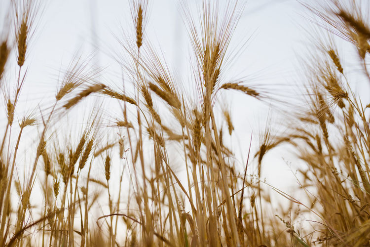 Bale  Baleares Baler Balearic Balearic Islands Crop  Plant Agriculture Cereal Plant Growth Nature Close-up Rural Scene Field No People Landscape Wheat Land Day Beauty In Nature Farm Tranquility Grass Backgrounds Outdoors Stalk