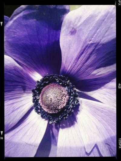 Flowers Anemone...