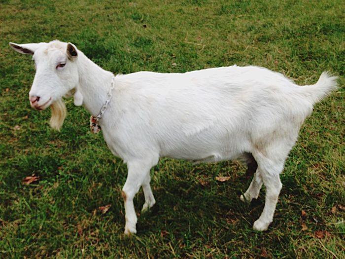 Serenitygoats Goat Goatfarm Goat Life Farm Life Farm Serenitygoats