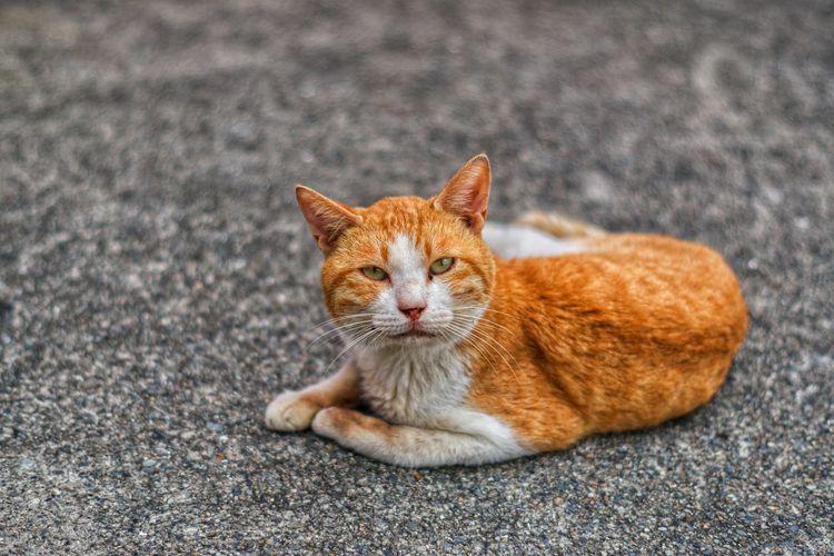 Portrait of a cat lying on road