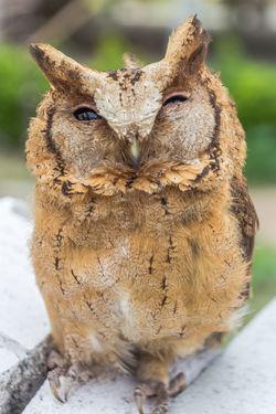 The big eyes Owl. Animal Wildlife Barn Owl; Beak; Beautiful Big Eyes; Bird Brown Feather; Claw; Closeup; Cute Feather; Hunter; Nature Night; Outdoors Owl; Portrait Predator; Thailand; Watching; Wing;