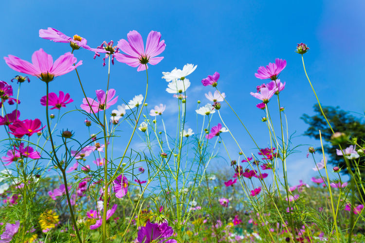 Colorful Cosmos and Blue Sky Beauty In Nature Blue Close-up Cosmos Flower Day Field Flower Flower Head Flowering Plant Fragility Freshness Growth Land Nature No People Outdoors Petal Pink Color Plant Plant Stem Sky Vulnerability