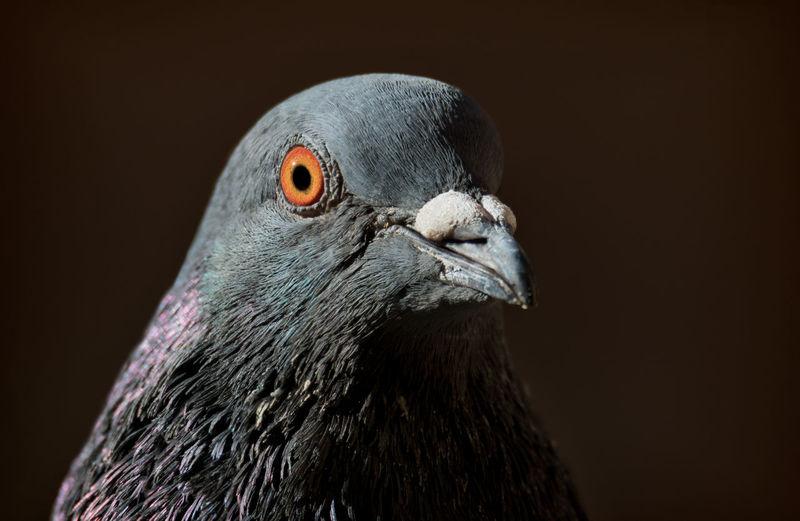 Close-up portrait of city pigeon against black background