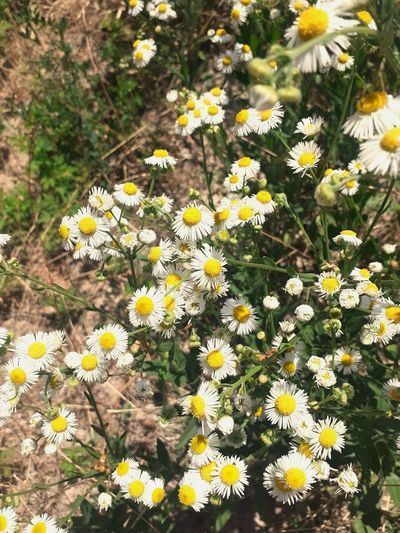 Close-up of yellow daisy flowers on field