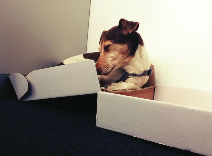 Cute Dog  Jack Russell Sleeping Dog Funny Sleeps