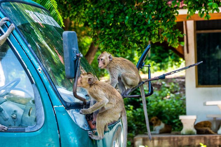 Monkeys On Truck