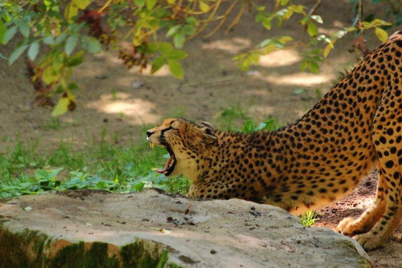 African Animals Cheetah Zoo Zoo Leipzig Animal Animal Teeth Animal Themes Animals In The Wild Day Fast Gepard Mammal Nature One Animal Outdoors Safari Animals Side View Summer Teeth Zoology The Great Outdoors - 2018 EyeEm Awards