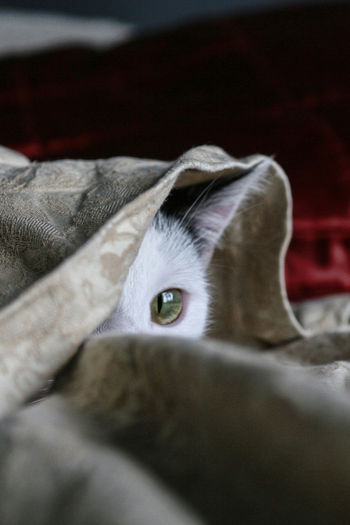 Cat looking from underneath blanket Pet Portraits Animal Themes Cat Blanket? Cat Eyes Cat Hiding Cat Under Blanket Close-up Cute Cats Day Domestic Animals Domestic Cat Feline Indoors  Looking At Camera Mammal No People One Animal Pets Portrait