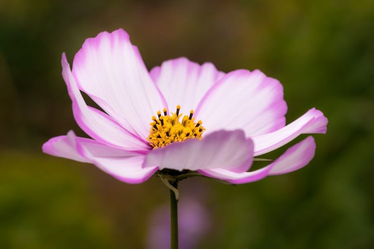 Nikon Flowering Plant Flower Fragility Vulnerability  Freshness Plant Beauty In Nature Petal Flower Head Close-up Inflorescence Focus On Foreground Pollen Growth Pink Color Nature Day No People Cosmos Flower