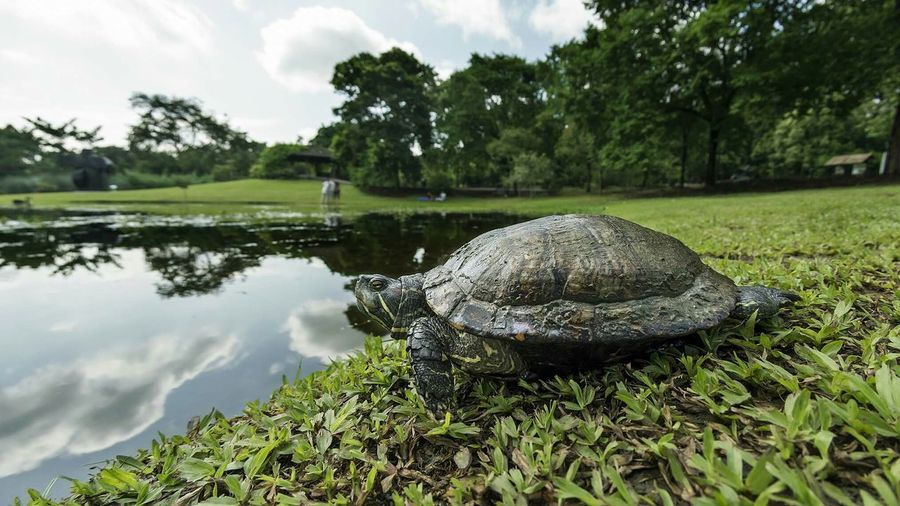 Low angle view of turtle near pond in singapore botanic gardens