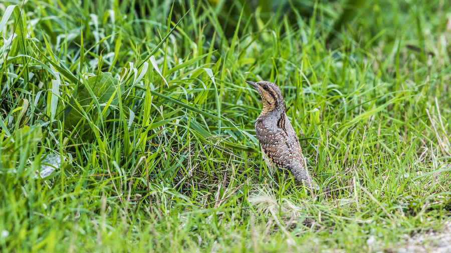 This eurasian wryneck was sitting in the grass, looking for food. Eurasian Wryneck Jynx Torquilla Draaihals Grass Gras  Groenzoom Reptile Animal Themes Grass Close-up Green Color