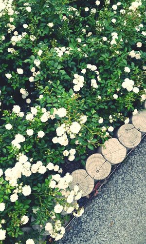 울산대공원 White Rose In Ulsan Park