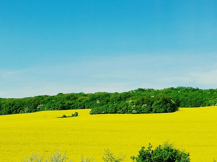 Yellow&blue Yellow Yellow Color Plant Tree Sky Beauty In Nature Growth Yellow Field No People Land Day Agriculture Nature Landscape Flower Green Color