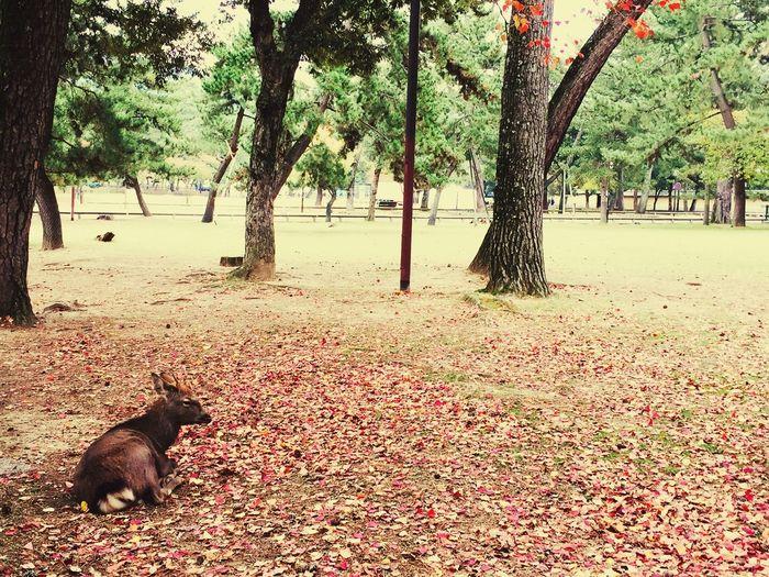 Hello World Enjoying Life Journey Lovely Nature I met a Deer Taking A Break in Nara Park , Japan