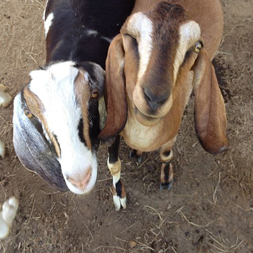 Animal Goat Lovable Pets! Cute Pets Animal_collection Goatfarm Animal Photography Goat Life Serenitygoats Serenityacres Pets