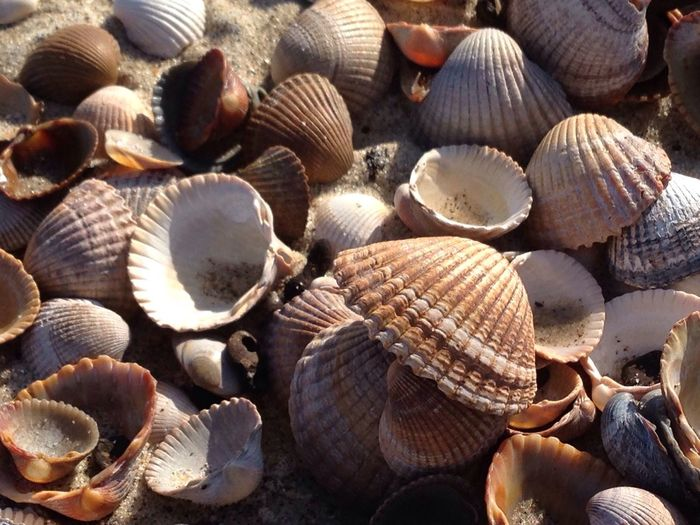 Seashell Beach Beauty In Nature Seatreasure Shell