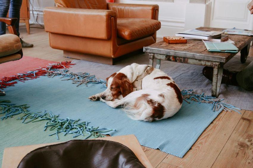Sleeping Beauty Dog Sleeping Pet Floor Cute Pets Pet Portraits