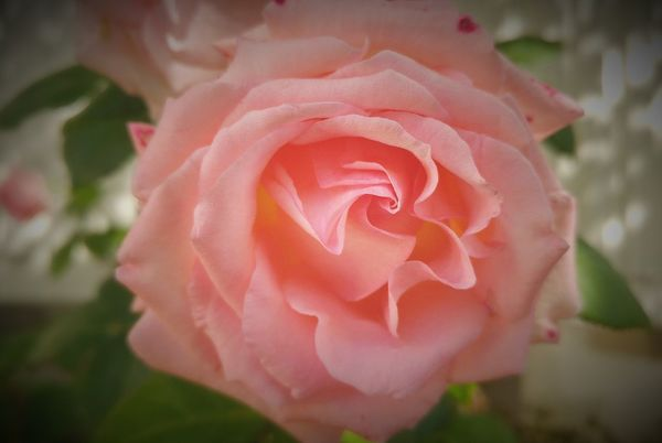 Flower Petal Rose - Flower Fragility Flower Head Nature Beauty In Nature Plant Close-up No People Growth Pink Color Freshness Rose Petals Outdoors Day Blooming