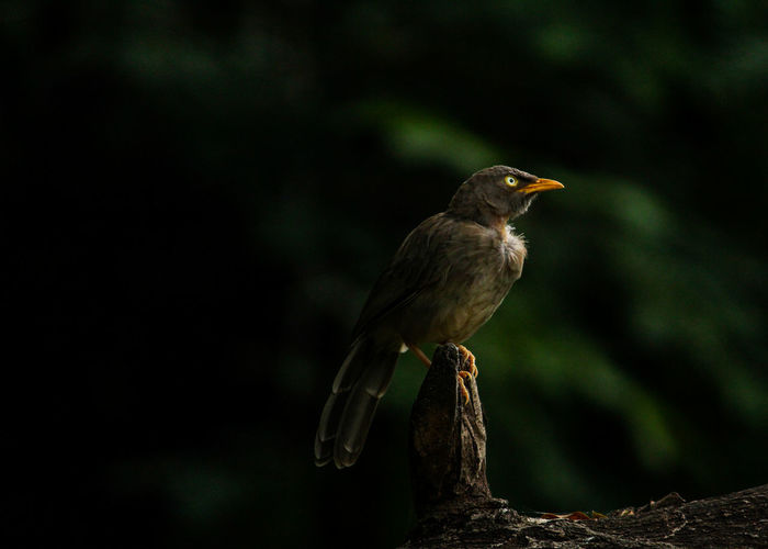 THE JUNGLE BABBLER SHINES IN DARK Babbler Bird Birdphotography Wildlifephotography Wildlife Wildlife & Nature Animals In The Wild Animal Themes Animal Wildlife Close-up Nature Outdoors Wildlifeindia Gujrat India Birdsofindia EyeEmNewHere Birds Of EyeEm  Bird Photography Bird Close Up Animal One Animal Looking Away