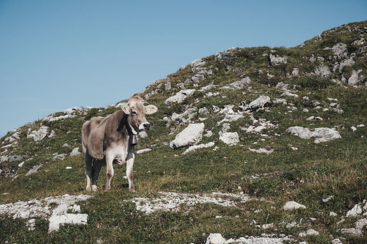 Alps, Germany Alps Animal Animal Themes Animal Wildlife Cattle Clear Sky Cow Cows Day Domestic Domestic Animals Field Herbivorous Land Livestock Mammal Mountain Nature No People One Animal Outdoors Pets Plant Sky Vertebrate