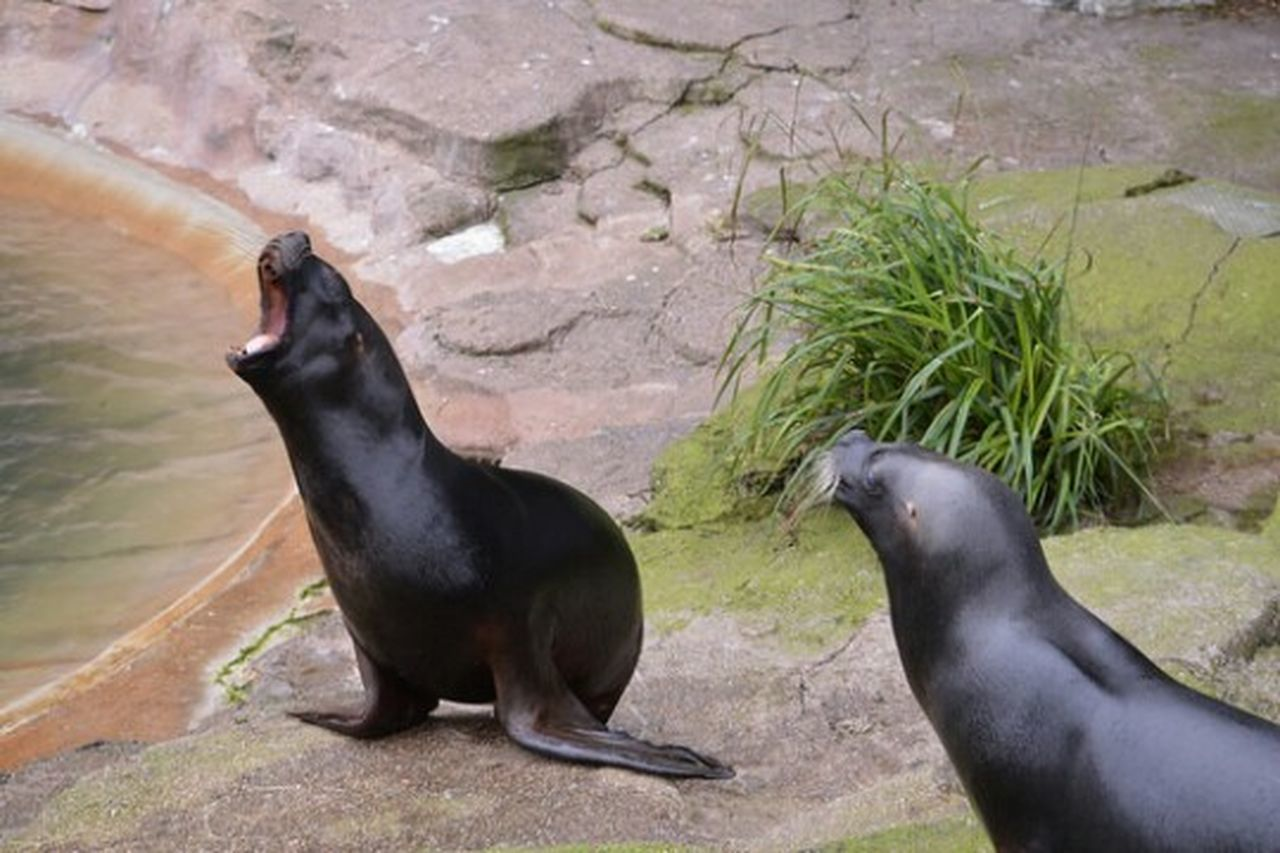 animal themes, rock - object, animals in the wild, animal wildlife, no people, one animal, sea lion, day, outdoors, full length, water, raven - bird, nature, mammal, bird, aquatic mammal, grass