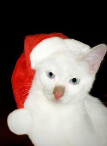 The Culture Of The Holidays Animal Themes Pets Close-up Portrait Santa Hat Santa Christmas Time Holiday Happy Holidays! Happy Holidays My Cat Cute Animals Animal Family Red Mammal Looking Blue Eyes American Bobtail Cats Cats Cat Lovers Pets Furfamily My Year My View