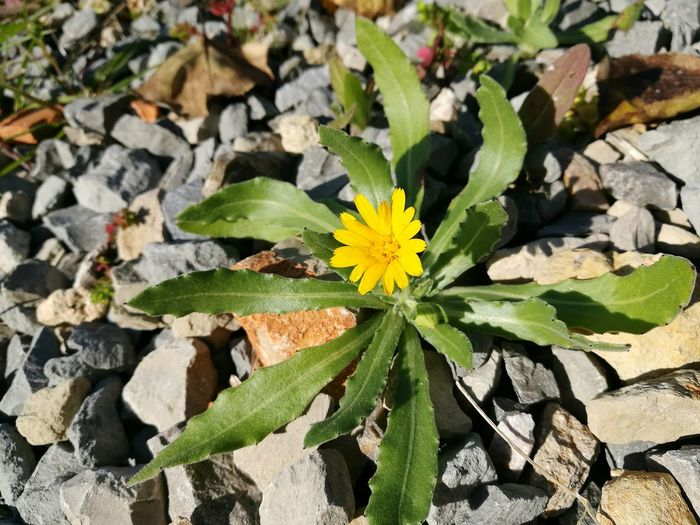 Little flower Flower Fragility Yellow Beauty In Nature Outdoors Faro Estoi Monte Pina Adapted To The City