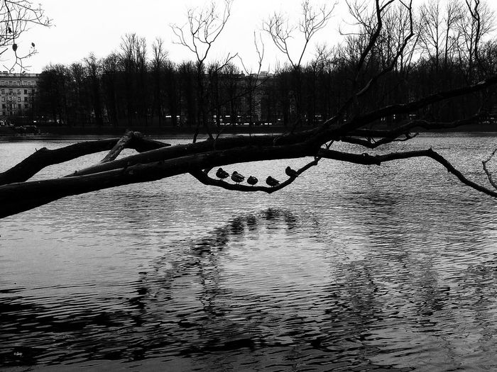 Five birds Reflection Water Nature Outdoors Day No People Tree Sky Shadow Silhouette Dark Growth Monochrome Black And White Autumn Branch Birds Bird Duck Ducks River Chanel Five Birds Be. Ready.