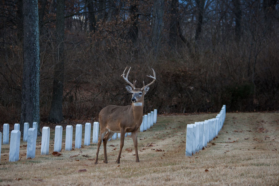 Big Ears Cemetery Deer Jefferson Barracks National Cemetary Nature Peace Profile Wild Animal Antlers Beauty In Nature Buck Doe Doe Eyes Graves Honor Military Cemetery Posing Up Close Wildlife
