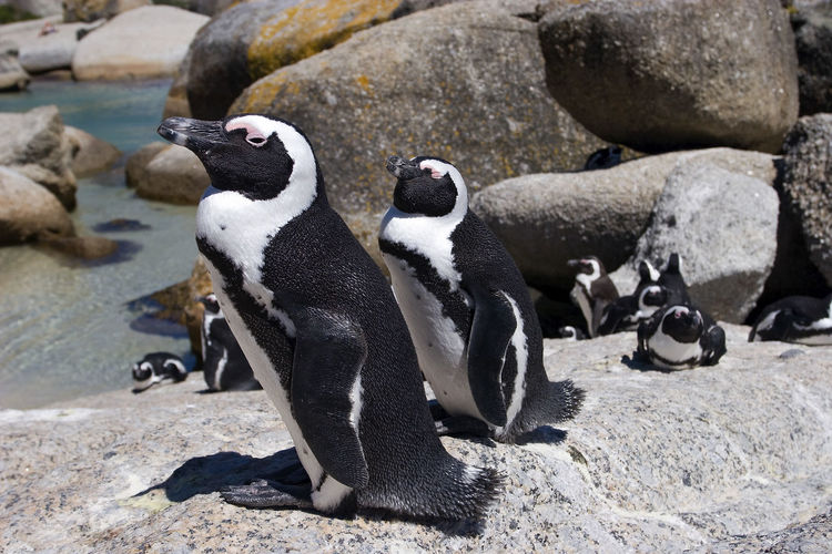 High angle view of penguins on rocks at beach