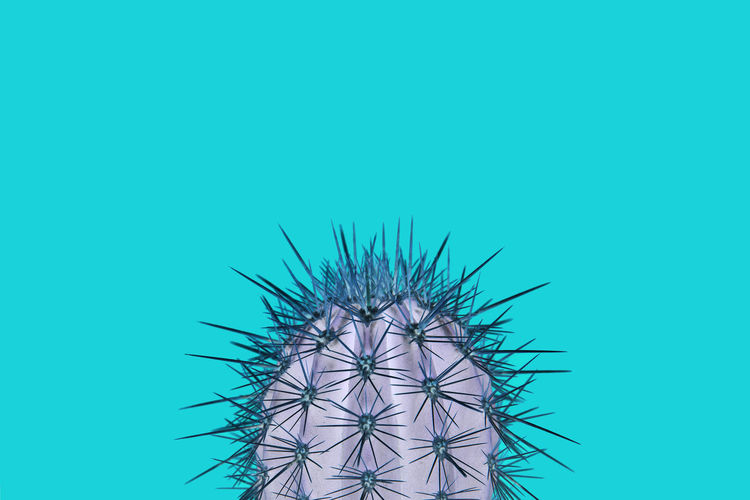 Cactus plant on a turquoise background in a trendy abstract style Cactus Plant Colorful Turquoise Colored Blue Copy Space Spiked Succulent Plant Studio Shot Thorn Colored Background