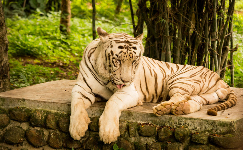 BeNGaL TiGeR Big Cats Animal Themes Animal Wildlife Animals In The Wild Bleached Tiger Day Mammal Nature No People One Animal Outdoors Tiger White Bengal Tiger White Siberian Tigers White Tiger Wildlife Zoo