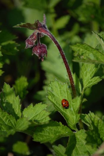 Animal Animal Antenna Animal Markings Animal Themes Arthropod Beauty In Nature Bug Close-up Day Focus On Foreground Green Green Color Growth Insect Ladybug Ladybug Leaf Nature No People Outdoors Plant Selective Focus Wildlife Zoology Geum Rivale