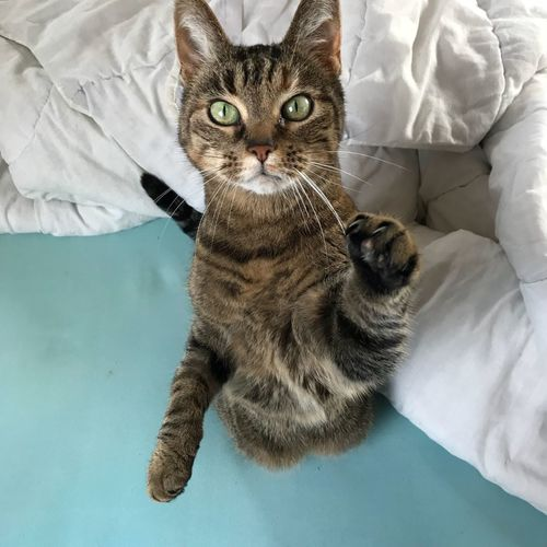 Tabby cat sitting in bed on her hindlegs begging for attention with her paw Hug Attention Paw Tabby Domestic Cat Pets Domestic Animals Feline Animal Themes One Animal Mammal Indoors  Bed Portrait High Angle View Looking At Camera Sitting Sheet No People
