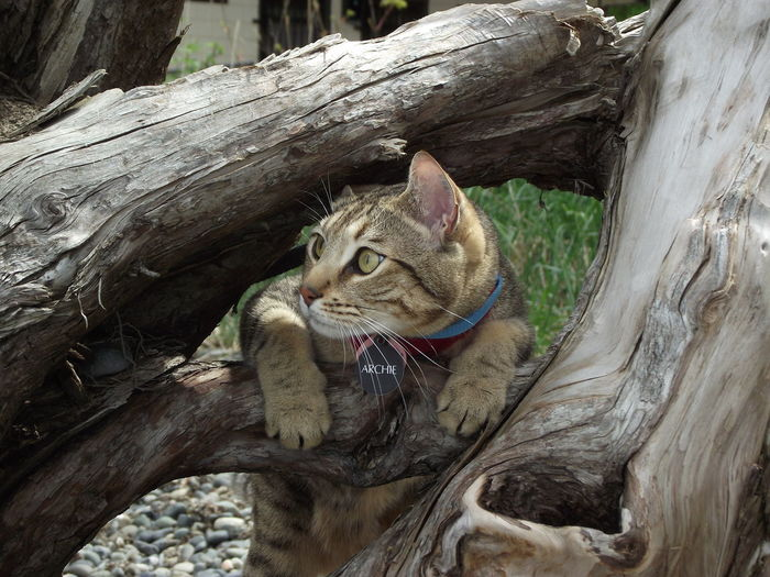 Capturing Freedom All My Photos Taken With IPhone5 I Love My Cat Cats Bengal Cat Archie Cat♡ Cat Cat Lovers Caturday