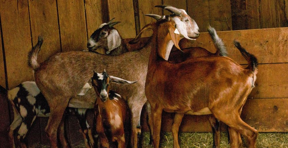 Nubian goats Nubian Goat Farm Barn No People Animal Art And Craft Mammal Animal Themes High Angle View Creativity Representation Nature Sunlight Wall - Building Feature