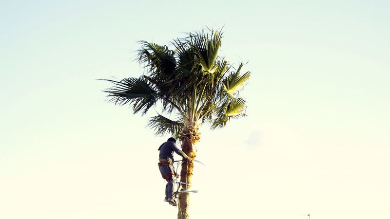 Gardener Gardening Job Man Pruning A Palm Tree Miami Platja - Tarragona Palm Tree Security Measures Tropical Climate Working At Heights