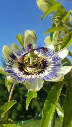 Passiflora Purple Flower Pistils Flower And Blue Sky