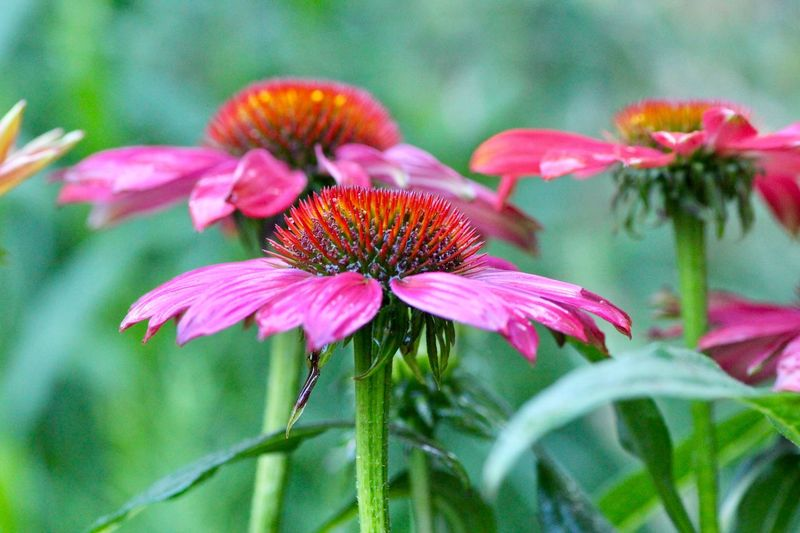 Flower in the gaarden Flower Flowering Plant Plant Freshness Fragility Vulnerability  Pink Color Beauty In Nature Close-up Growth Petal Flower Head Inflorescence Nature No People Pollen Coneflower Focus On Foreground Day Outdoors