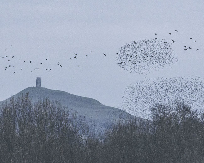 Glastonbury Tor Starling Murmuration Bird Animal Animal Themes Vertebrate Animal Wildlife Animals In The Wild Flying Large Group Of Animals Sky Flock Of Birds Nature No People Beauty In Nature Tree Plant Day Mountain Scenics - Nature Tranquility Outdoors Glastonbury Starling Murmuration Mumuration Of Starlings Avalon