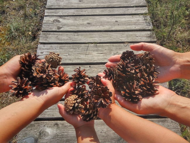 Pinecones in the hands EyEmNewHere Pine Cone Pinecone Directly Above Holding Human Hand Summer Sunlight Close-up Personal Perspective