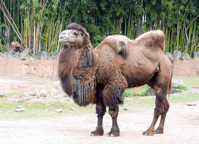 Low angle view of bactrian camel