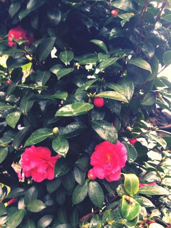 Camellia Love