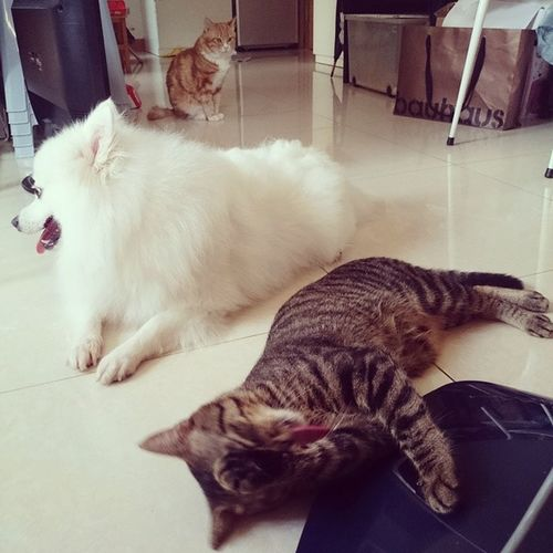 我屋企有: 叫做阿狗嘅貓; 有好驚阿狗嘅狗; 同埋以為自己係狗嘅貓。 Cat_the_Dog Cat_SiuDik Bubbie Cat cats cat_of_instagram cats_of_instagram cat_lover cat_lovers cats_lovers catcat cat_model 動麥園 mimisphotography mimis_favourite