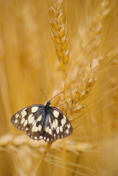 Animal Themes Animal Wildlife Animals In The Wild Beauty In Nature Butterfly Butterfly - Insect Close-up Day Melanargia Galathea Nature No People One Animal Outdoors