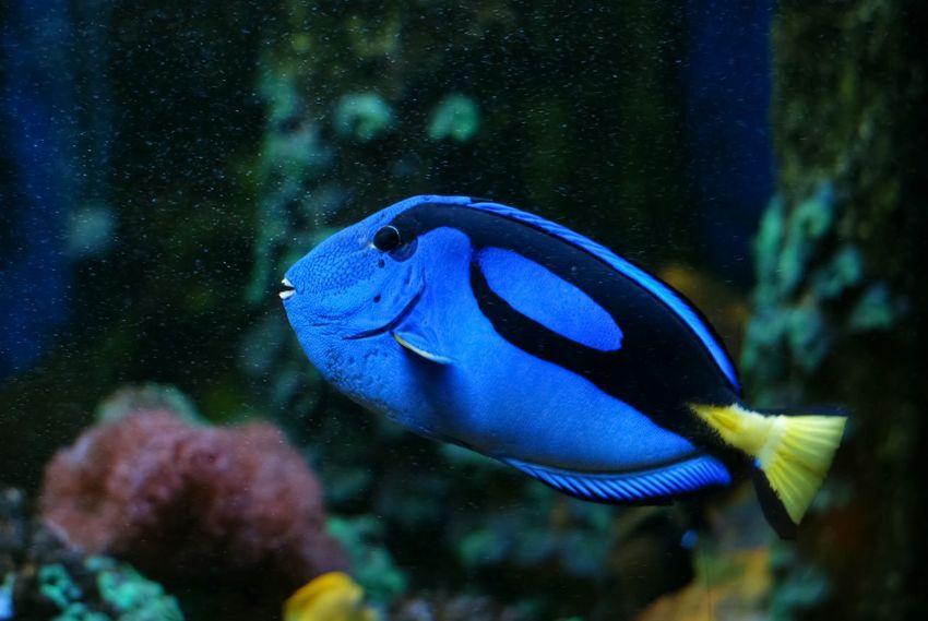 Blue Tang Palette Surgeonfish Fish Traveling Aquarium Theme Park Tampere Finland Market Bestsellers July 2016 Bestsellers