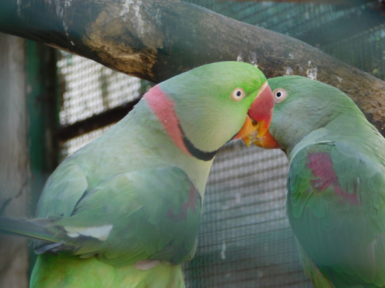 bird, animal themes, two animals, animals in the wild, parrot, animal wildlife, nature, green color, no people, day, perching, cage, close-up, outdoors, beauty in nature, togetherness, mammal